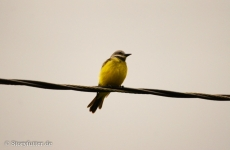 Vogel auf der Leitung