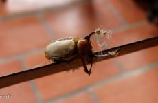Käfer auf Messers Schneide