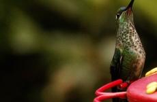 Ein Kolibri zum Abendessen